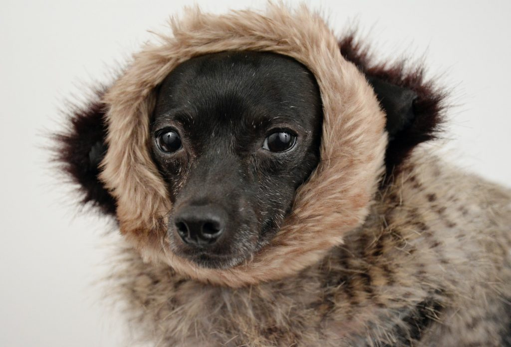 Dog with fur scarf. Concord heater repair.